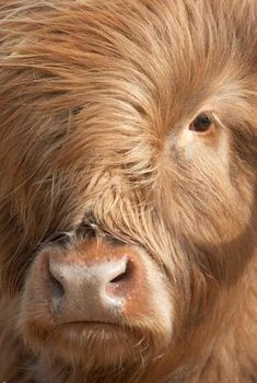 The Highland Cow 'Heilan Coo' is one of the most popular animals in Scotland for good reason. Find out where you can meet a highland cow in the Cairngorms! Cairngorms National Park, Orkney Islands, Trip Planning, Scotland, National Parks, Meet, Highlands, Cows, Thigh