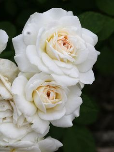 'Snowdrift' for an easy-growing, white-flowering rose. This hardy shrub produces full white flowers all season long and isn't touched by disease. The gorgeous blooms are great for cutting.