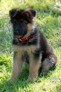German Shepherd Puppy - Madison