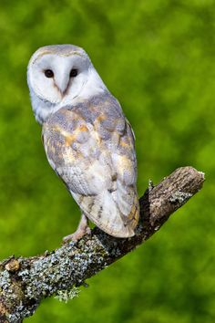 Barn Owl Diagram | Outdoor Science School - Activities for ...