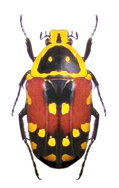 Euchroea aurostellata - Anita Smith Home Beetle Insect, Beetle Bug, Insect Art, Weird Insects, Bugs And Insects, Insect Photos, Instalation Art, Beautiful Bugs, Land Art