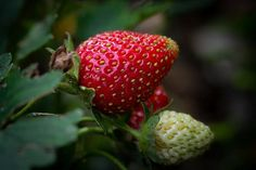 Free Image on Pixabay - Strawberry, Ripening Process Permaculture, Comment Planter, Agriculture Biologique, Strawberry, Terre Nature, Food, Organic Fertilizer, Fruits And Veggies, Getting Pregnant