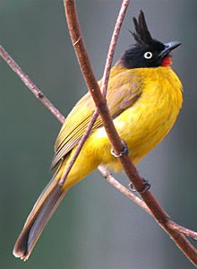 Black-crested Bulbul (India to Indonesia)