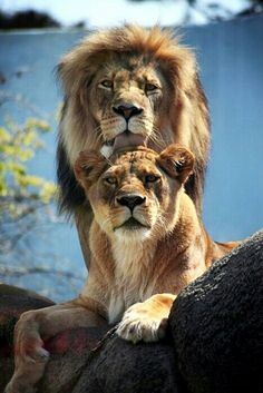 SPEAK OUT! HELP PROTECT THE MAJESTIC LION FROM EXTINCTION! Please Sign and Share this petition worldwide in an effort to encourage the African Wildlife Federation and International Union for the Conservation of Nature (IUCN) to do more to protect the ever-declining population of lions throughout Africa.