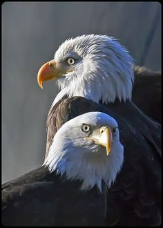 Bald Eagle pair...almost identical, but female is larger and her bill is slightly longer