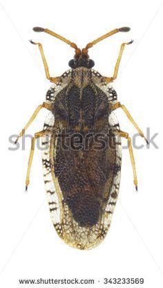 Bug Tingis cardui on a white background - stock photo