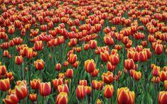 Tulip Fields, Pumpkin, Nirvana, Carrie, Outdoor, Tulips, Flowers, Outdoors, Pumpkins