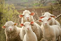 Sheep Posing for a Photo jigsaw puzzle in Animals puzzles on…