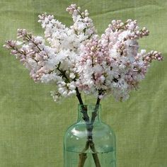 """One of the most breathtaking lilacs, 'Beauty of Moscow' (also sold as 'Krasavitsa Moskvy'), features pink, pearl-like buds that open into gorgeous double white flowers that are strongly fragrant. It's also a big plant: """"They tend to grow like trees, so you need to prune 'Beauty of Moscow' on occasion to keep it under control,"""" says Ted. He predicts in a few years, this will be the best-selling lilac in the country. Name: Syringa 'Beauty of Moscow' Growing Conditions: Full sun and moist…"""
