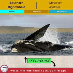 Specie Profile  English Name: #Southernrightwhale Scientific Name: #Eubalaenaaustralis  Class: #MarineMammal  Order: #Cetacean  Sub-Order: #Mysticeti  Family: #Balaenidae  Type: #Whale        Study Options  #MarineScience #MarineBiology #MarineConservation #MarineEcology #Mammalogy       Career Paths  #Veterinarian #Biologist #Ecologist #Aquarist #Scientist      Where to see?  #New Zealand #SouthAfrica #Australia #Namibia #Mozambique       Experience the feelings!  #Wildlife #Adventure…