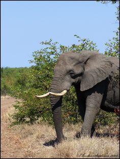 African eliphant aka Olifant