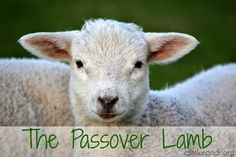 The Passover Lamb - A Little R & R