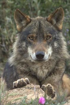 It looks like this wolf is smiling... Come closer my dear