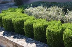 A Rosemary Hedge should be as much a part of a traditional English garden as…