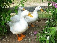 Pekins lay nearly 200 large white eggs per year.