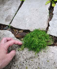 Placing Irish Moss, Thyme and sedum on a stone stairway. Moss Garden, Garden Paths, Irish Moss Ground Cover, Container Gardening, Gardening Tips, Moss Plant, Garden Solutions, Summer Plants, Bloom Where You Are Planted