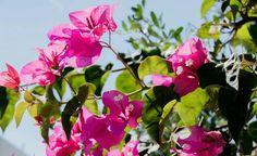 Fiori rosa a Torre dell'orso