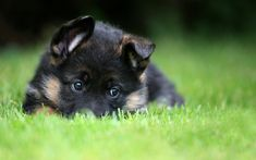 German Shepherd Puppies - 53 Pictures