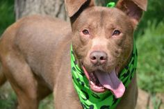 SAFE 5-18-2015 --- Staten Island Center LOUIE – A1035236  MALE, BROWN / WHITE, RHOD RIDGEBACK MIX, 3 yrs STRAY – STRAY WAIT, NO HOLD Reason STRAY Intake condition UNSPECIFIE Intake Date 05/04/2015