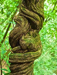 Knotted vines, like my stomach many times on this trip! Honduras, Fungi, Tour, Garden Sculpture, Vines, National Parks, Outdoor Decor, Flowers, Plants