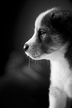 Husky pup black and white #dog #husky #animal