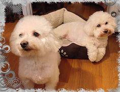 Bichon Frise Dogs - Cute