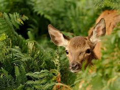 Red Deer Fawn by Benjamin Joseph Andrew on Flickr.