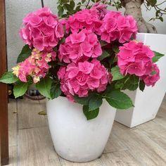 hortenzia cserében, nagyon jó cikk Indoor Flowers, Water Flowers, Indoor Plants, Wonderful Flowers, Beautiful Flowers, Landscaping Plants, Water Garden, Growing Plants, Horticulture