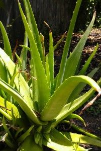 Discover 8 great all natural remedies for soothing sunburns, such as Aloe Vera.