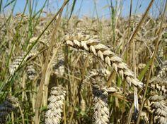 El trigo, uno de los cereales más consumidos del mundo, contiene gluten, un conjunto de proteínas que pueden ser tóxicas para las personas celiacas. Un nuevo estudio, que ha analizado los componentes tóxicos de estas proteínas en diferentes variedade