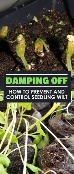 Has damping off got you down? Do you weep with sorrow as your little green darlings turn brown? Learn how to prevent this annoying disease easily.