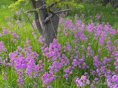 Dame's Rocket Seeds (Hesperis Matronalis) commonly called Sweet Rocket, and it will grow anywhere in the U.S. in full sun or light shade