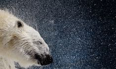 A polar bear shakes his body to remove water at the St-Felicien Wildlife Zoo in St-Felicien, Quebec on March 6, 2008. (REUTERS/Mathieu Belanger)