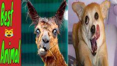 #tiere #süß #katzenvideos😹 Süße und Lustige Tiere! 2020 😺 Lustige Tiere ... Vines, Funny Fails, Giraffe, Animals, Funny Cat Videos, Felt Giraffe, Animales, Animaux, Fun Nails