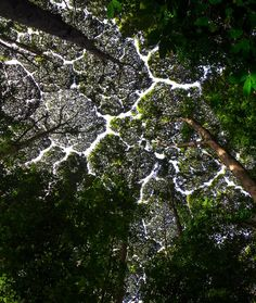 Canopy In Rainforest . Canopy In Rainforest . Crown Shyness Creates Otherwordly Gaps In forest Canopies Canopy Bed Frame, Tree Canopy, Canopy Tent, Canopies, Rainforest Pictures, Canopy Weights, Jungle Illustration, Backyard Canopy, Gardens