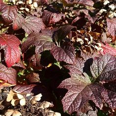Hydrangea leaves this fall. Such a beautiful color.