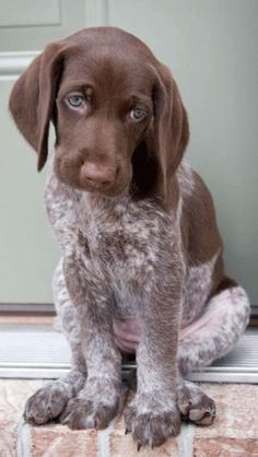 What a sweet face. German Shorthaired Pointer Puppy! They are Xlnt dogs!