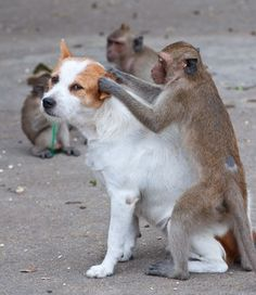 Monkeys checking for fleas and ticks in the dog- Organic Food Grade Diatomaceous Earth! for plants, pets safe in home use Nature Animals, Animals And Pets, Funny Animals, Cute Animals, Dog Health Care, Pet Safe, Cute Friends, Service Dogs, Animaux