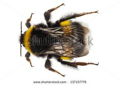 Bumblebee species Bombus terrestris common name buff-tailed bumblebee or large earth bumblebee  in high definition with extreme focus and DOF (depth of field) isolated on white background - stock photo