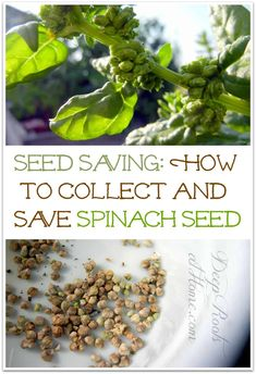 Seed Saving: How To Collect and Save Spinach Seed Planting Spinach, Growing Spinach, Growing Herbs, Veg Garden, Garden Seeds, Planting Seeds, Vegetable Gardening, Garden Fun, Gardens