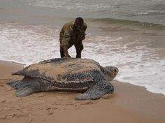 Leatherback Turtle: The largest living reptiles on Earth. The only sea turtle that lacks a hard bony shell. They get most of their food from coastal waters and primarily eat jelly fish. this is huge Beautiful Creatures, Animals Beautiful, Cute Animals, Sea Turtle Pictures, Leatherback Turtle, Tortoise Turtle, Giant Tortoise, Turtle Love, Wale