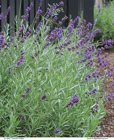Don't cut plants like lavender to the ground, and don't touch them in fall or winter