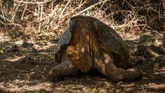 Diego, tartaruga tarada de 110 anos
