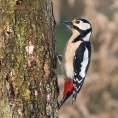 Image Result For Woodpecker