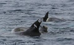 orca by Daniel Bianchetta