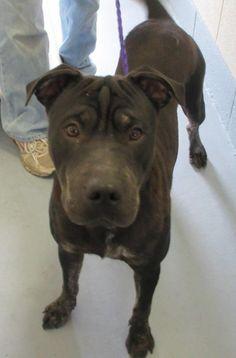 SMOOSHY - 136289 - URGENT - PORTAGE COUNTY DOG WARDEN SHELTER in Ravenna, OH - 2 year old Neutered Male Shar Pei Mix