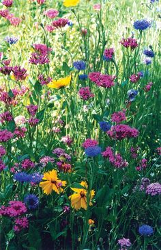 To create a beautiful meadow, you should carefully prepare the area to be seeded, sow seed evenly and thinly, cover lightly, and keep moist. In a comparative planting of a number of wildflower mixes,