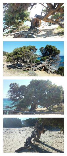 Ginepro a Porto Sa Ruxi - Villasimius - Sardegna