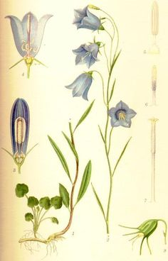 Campanula_rotundifolia_liten_blåklocka.jpg 438×683 pixels
