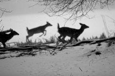 Running Deers •